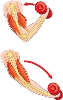 bras en train d'effectuer des biceps curls biceps et triceps en évidence