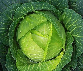 chou vert humide - légume idéal pour la perte de poids