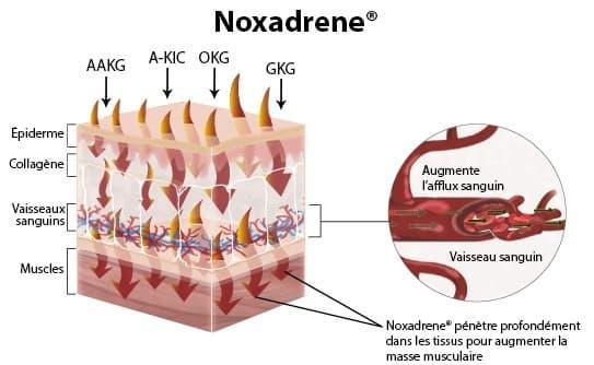 infographie presentant les effets de noxadrene sur les muscles