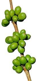 grains de café vert sur une tige - sur un fonc blanc