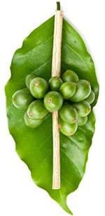 grains de café vert sur une tige sur une feuille verte