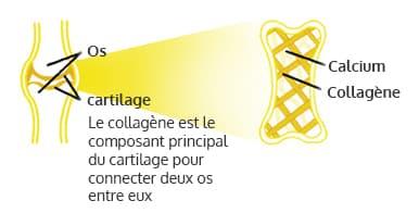image presentant les os et le cartilage en jaune sur un fond blanc