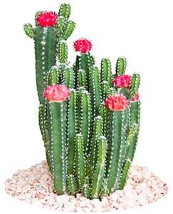 plusieurs catus verts avec des fleurs roses sur un tas de cailloux sur fond blanc